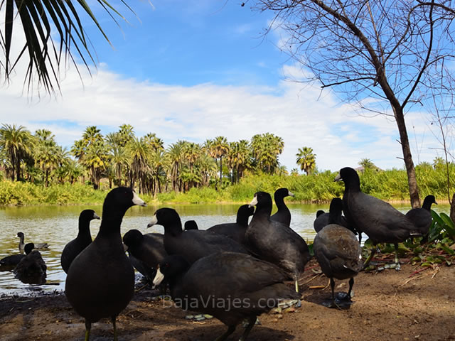 Fauna en el Oasis en San Ignacio, Baja California
