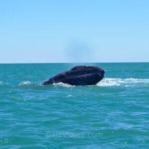 Avistamiento de Ballenas en la Península de Baja California.