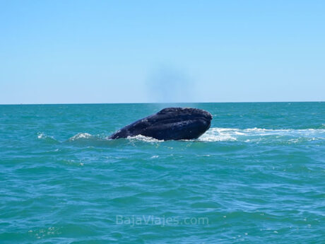 Avistamiento de ballenas en la Península de Baja California