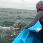 Experiencia de avistamiento de ballenas en Baja California Sur.