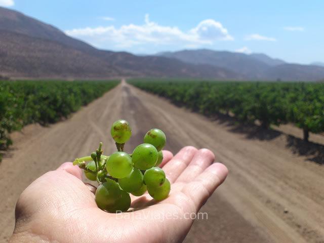 Uvas de Bodegas de Santo Tomás, en el Tour a la Antigua Ruta del Vino.