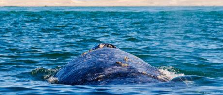 Avistamiento de ballenas en Baja California