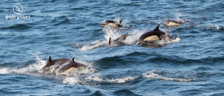 Delfines durante el paseo de avistamiento de Ballenas en Baja California