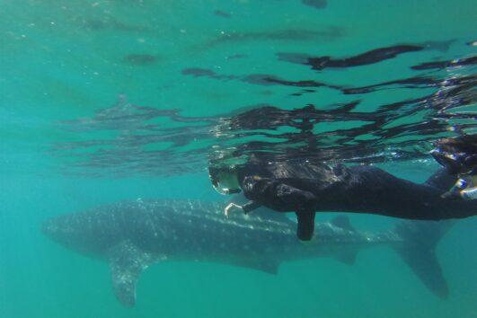 Nado esnorquel junto al tiburón ballena en La Paz, Baja California Sur