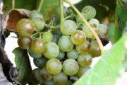 Racimos de Uva Durante el Tour a la Ruta del Vino